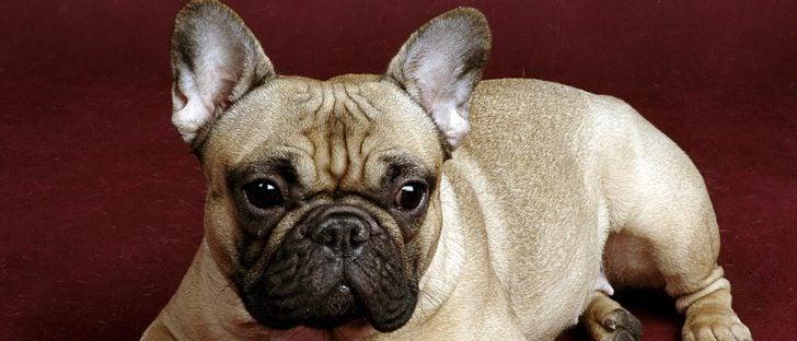 Razas de perros: Bulldog