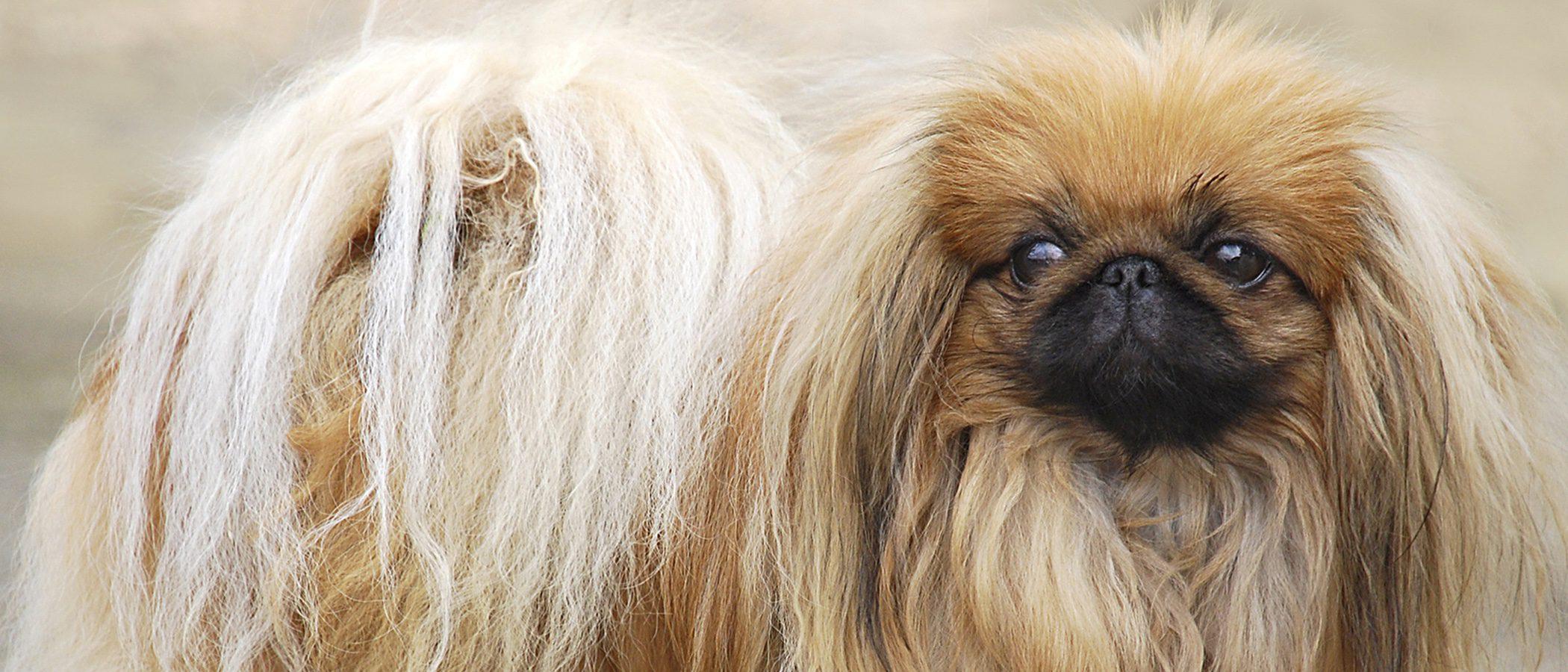 Pequinés: razas de perros