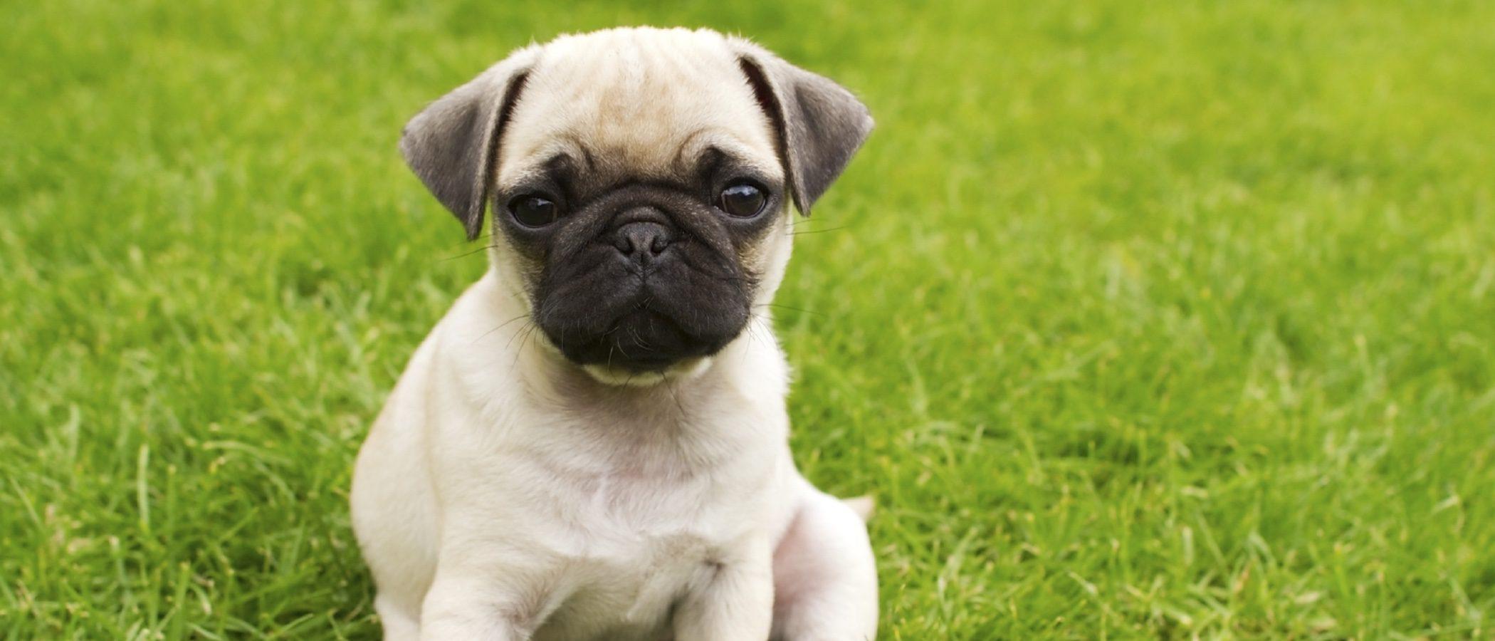 Razas de perros: Carlino