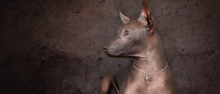 Xoloitzcuintli: Razas de perros