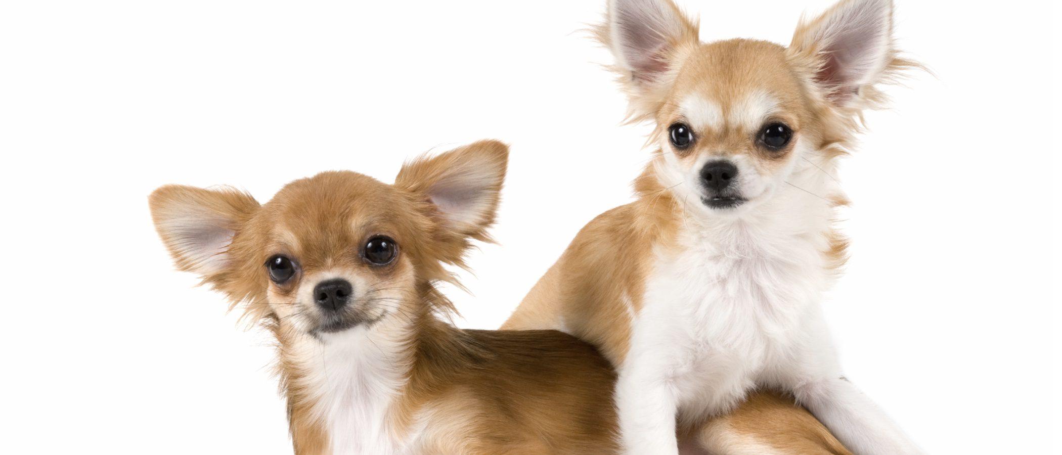 Chihuahua: razas de perros