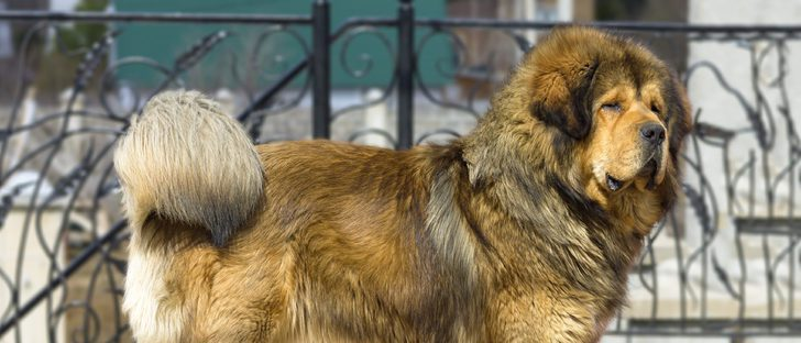 Mastín leonés: Razas de perros