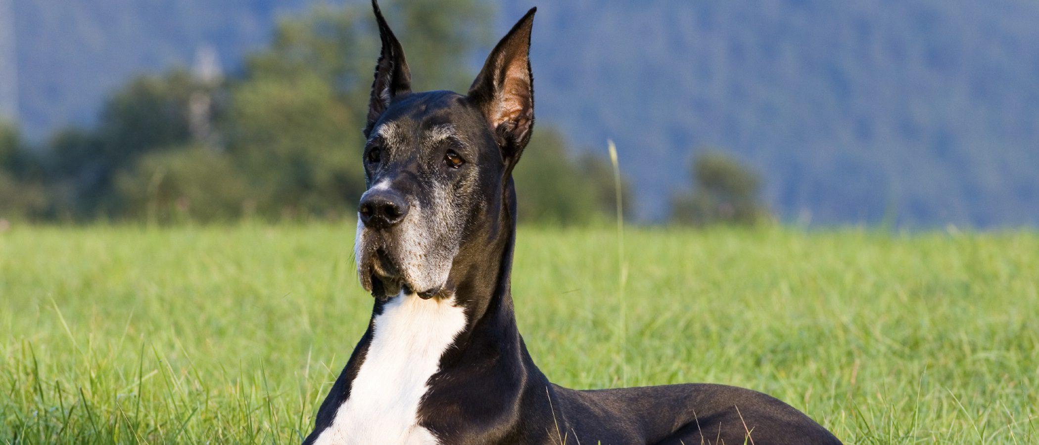 Gran Danés: razas de perros