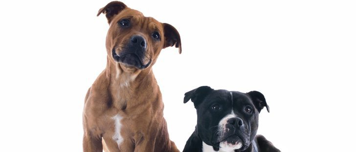 Pitbull: razas de perros