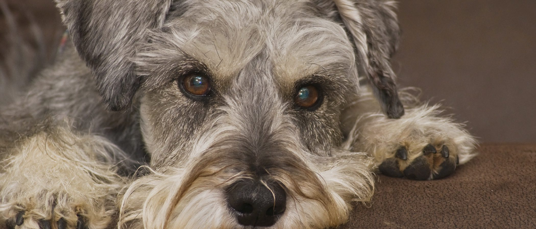 Schnauzer: razas de perros