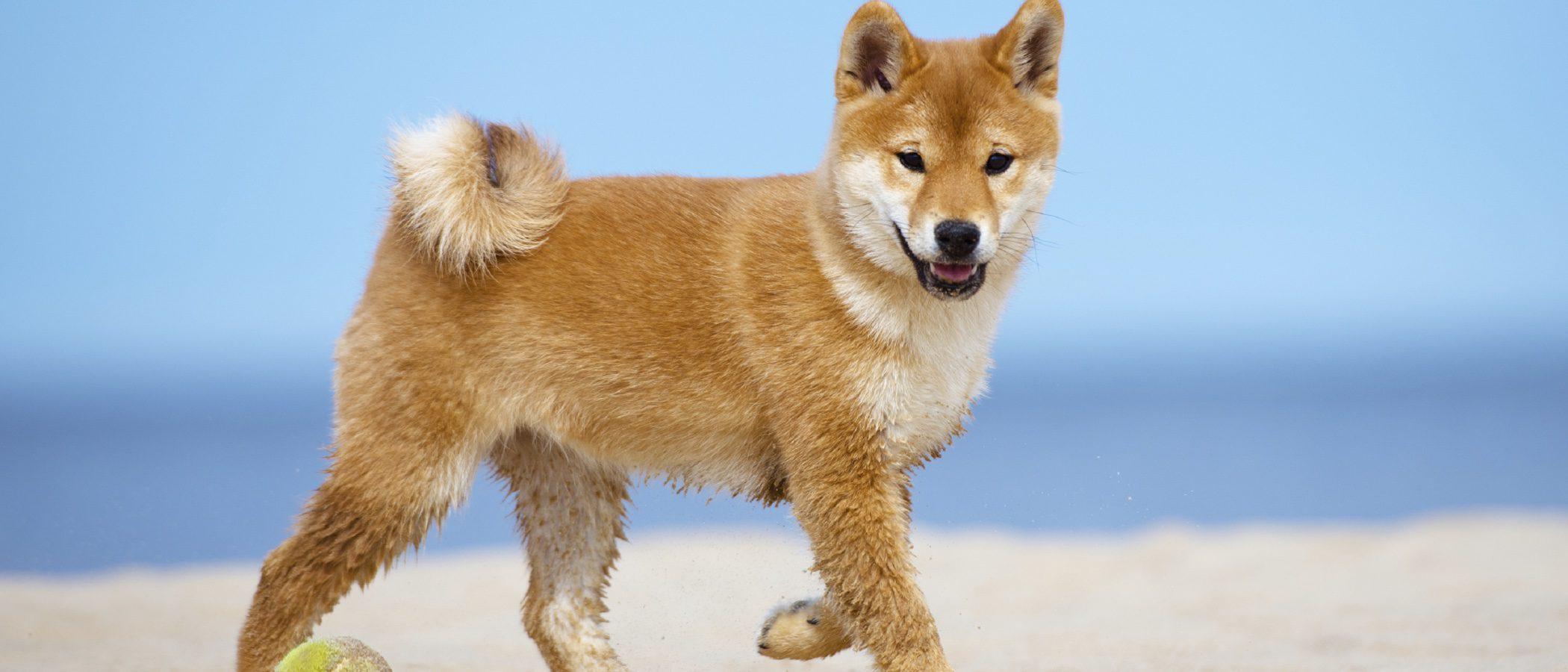 Akita Inu: Razas de perros