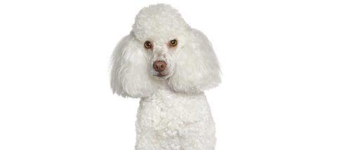 Caniche: razas de perros