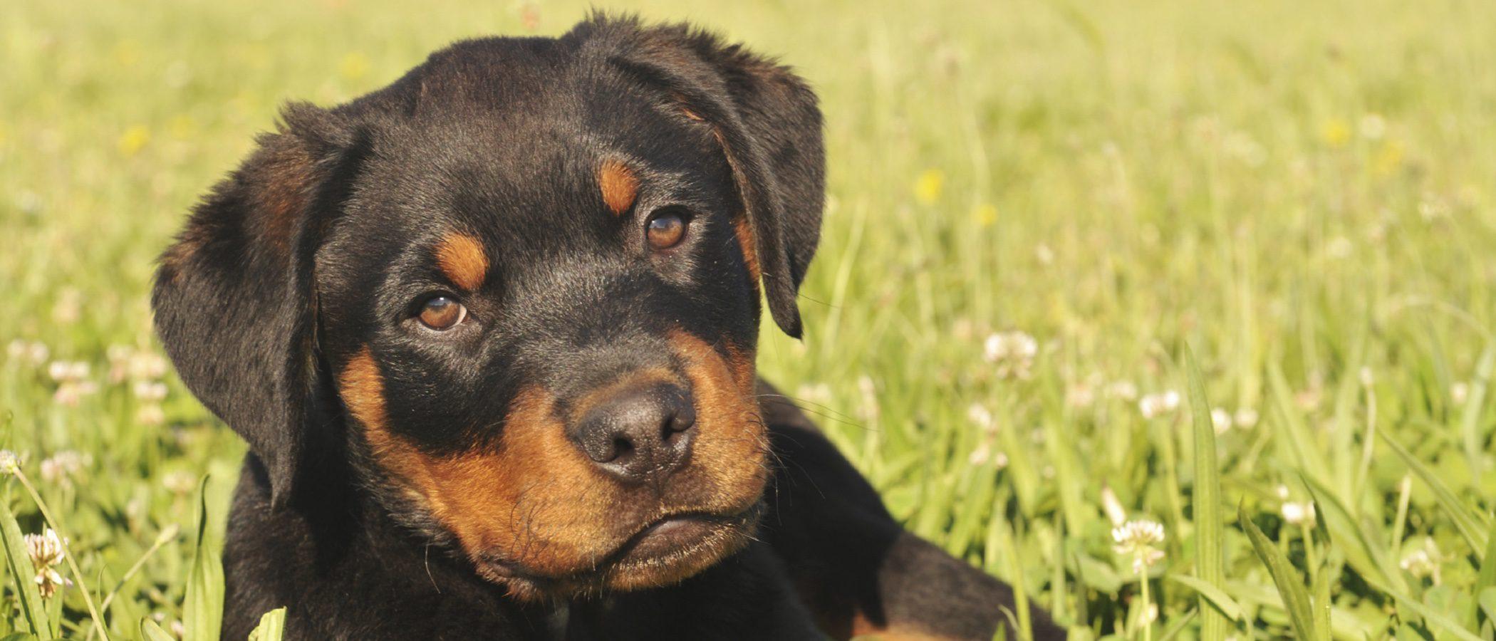 Rottweiler: Razas de perros