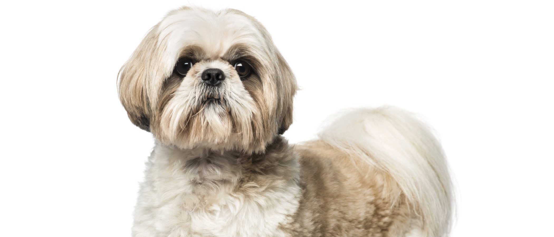 Shih Tzu: Razas de perros