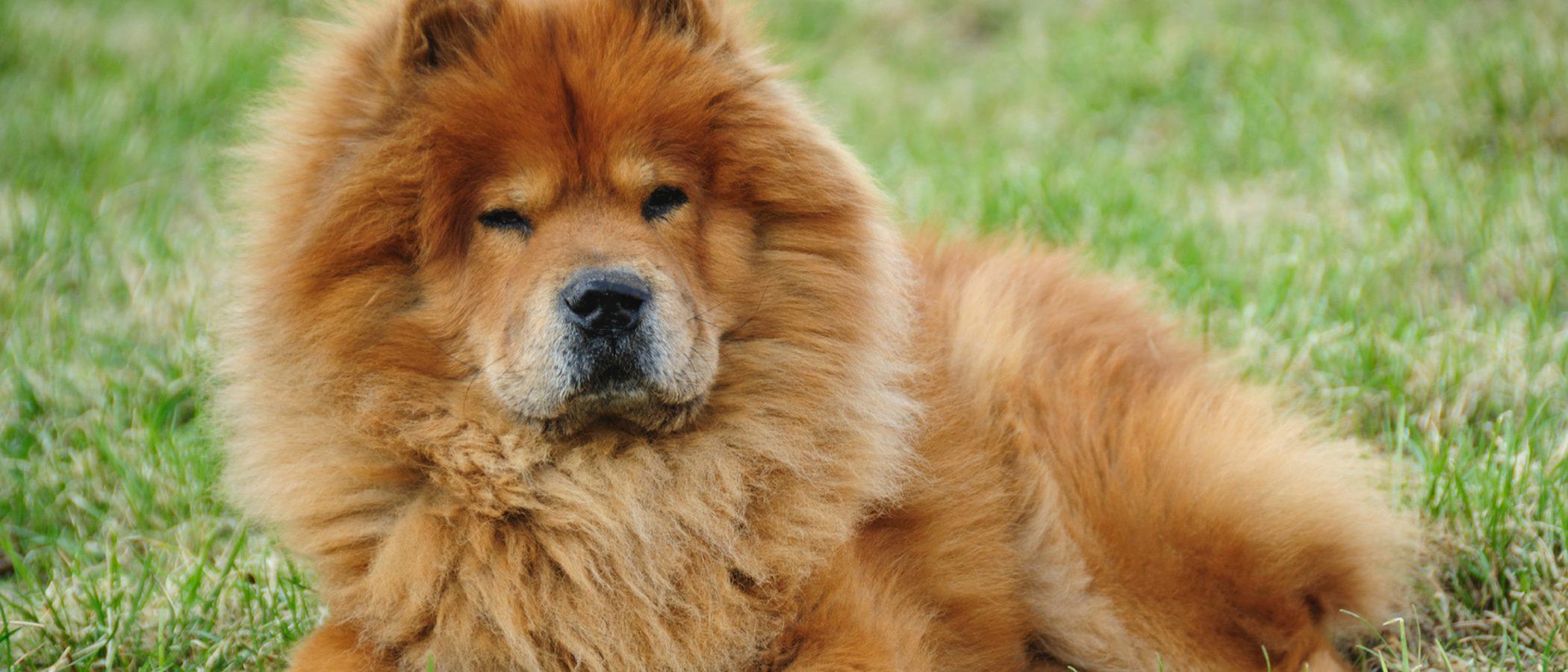 Razas de perros: Chow chow