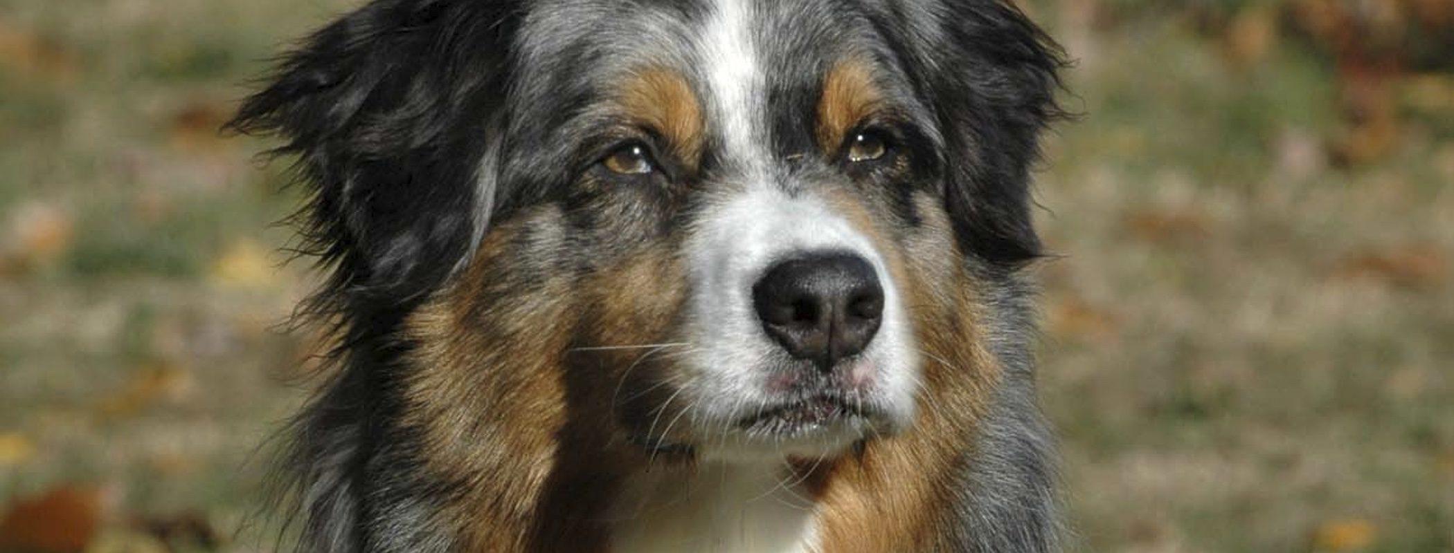 Razas de perros: Pastor australiano