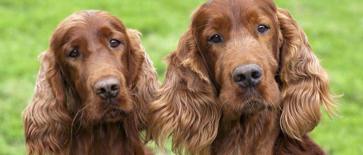 Razas de perros: Setter irlandés