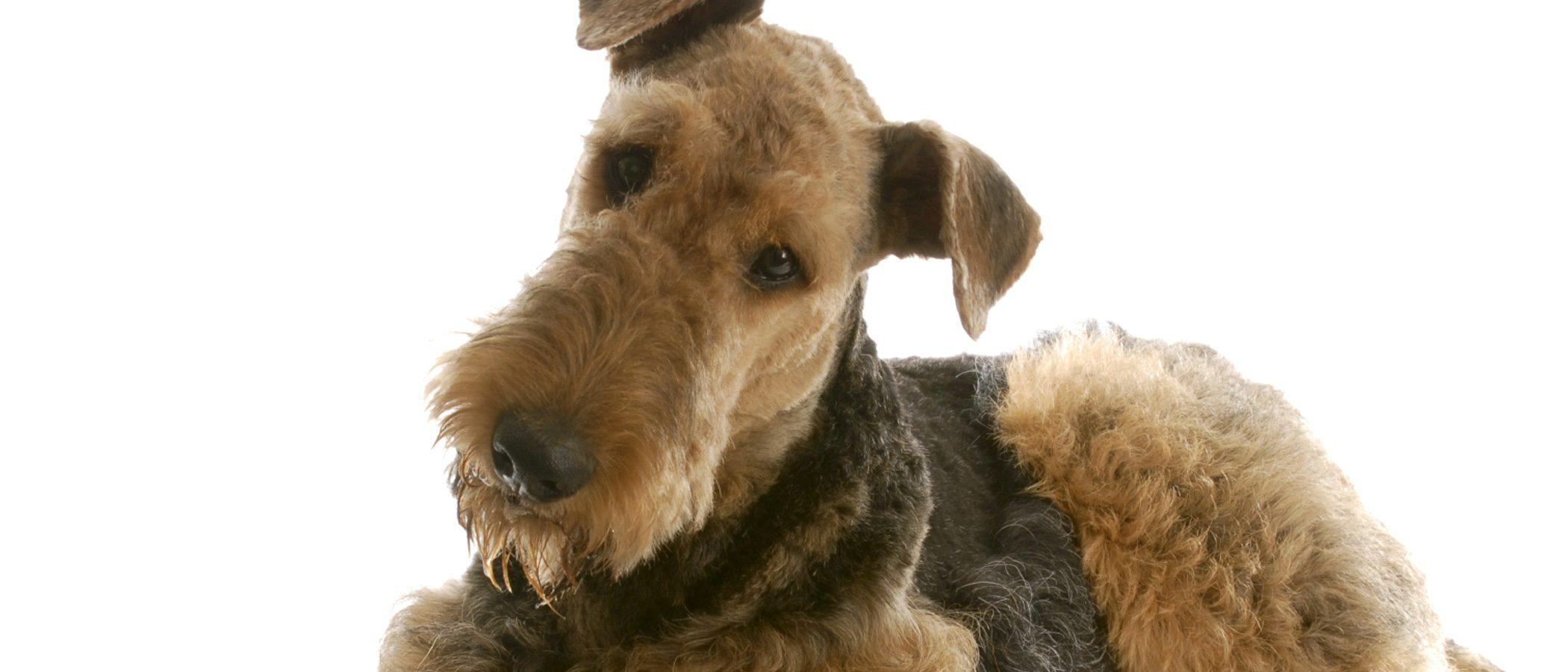 Razas de perros: Airedale terrier