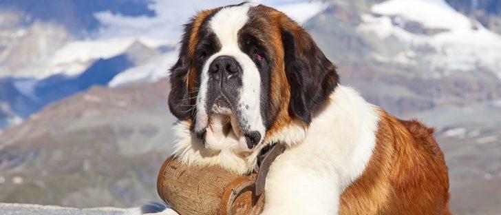 Razas de perros: San Bernardo