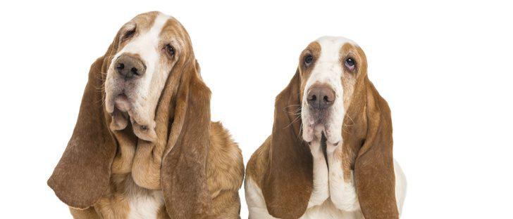 Razas de perros: Basset hound
