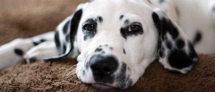 Razas de perros: Dálmata