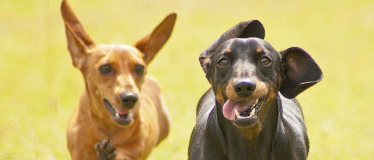 Razas de perros: Dachshund o perro salchicha