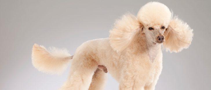 12 razas de perros con el pelo largo