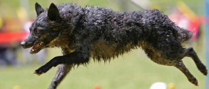 Razas de perros: Mudi
