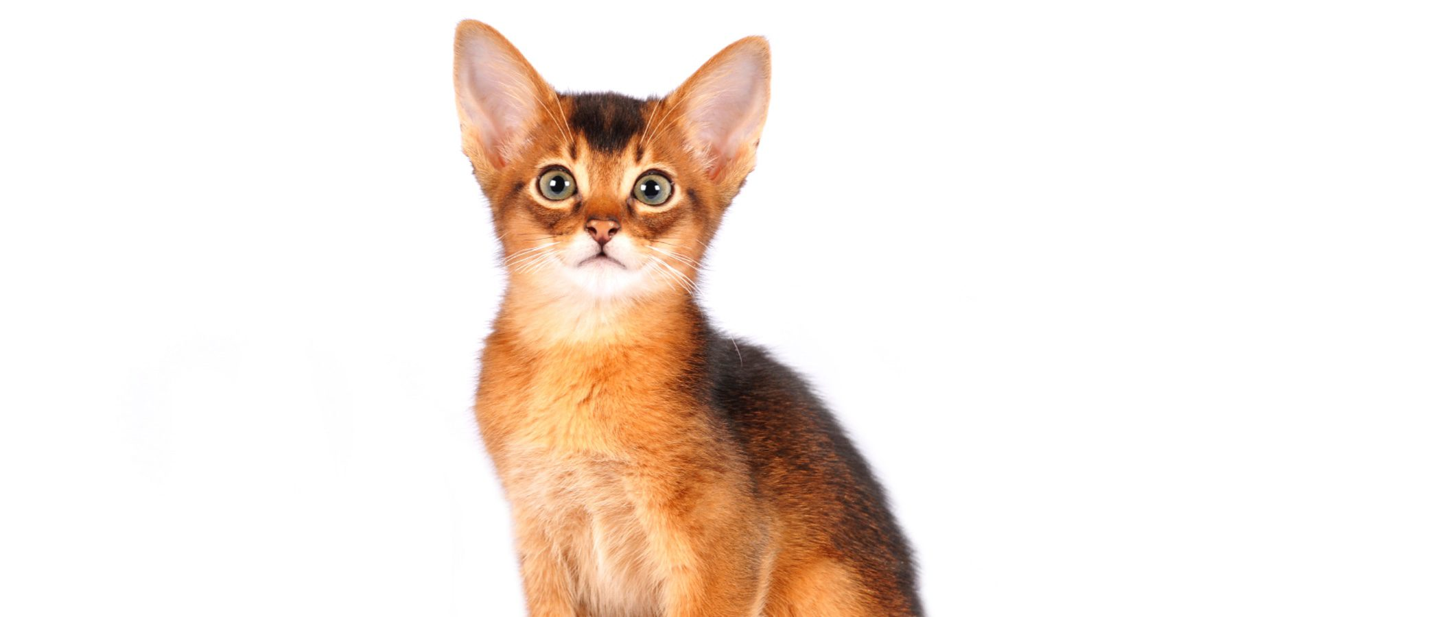 Gato Abisinio: todo sobre esta raza de felino