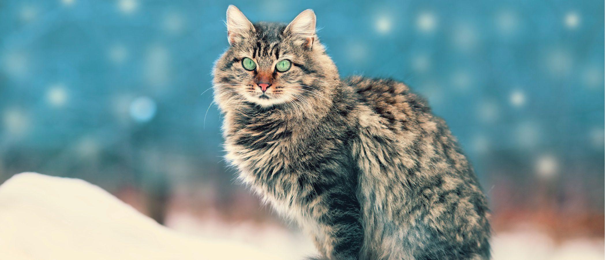Gato Siberiano: todo sobre esta raza de felino