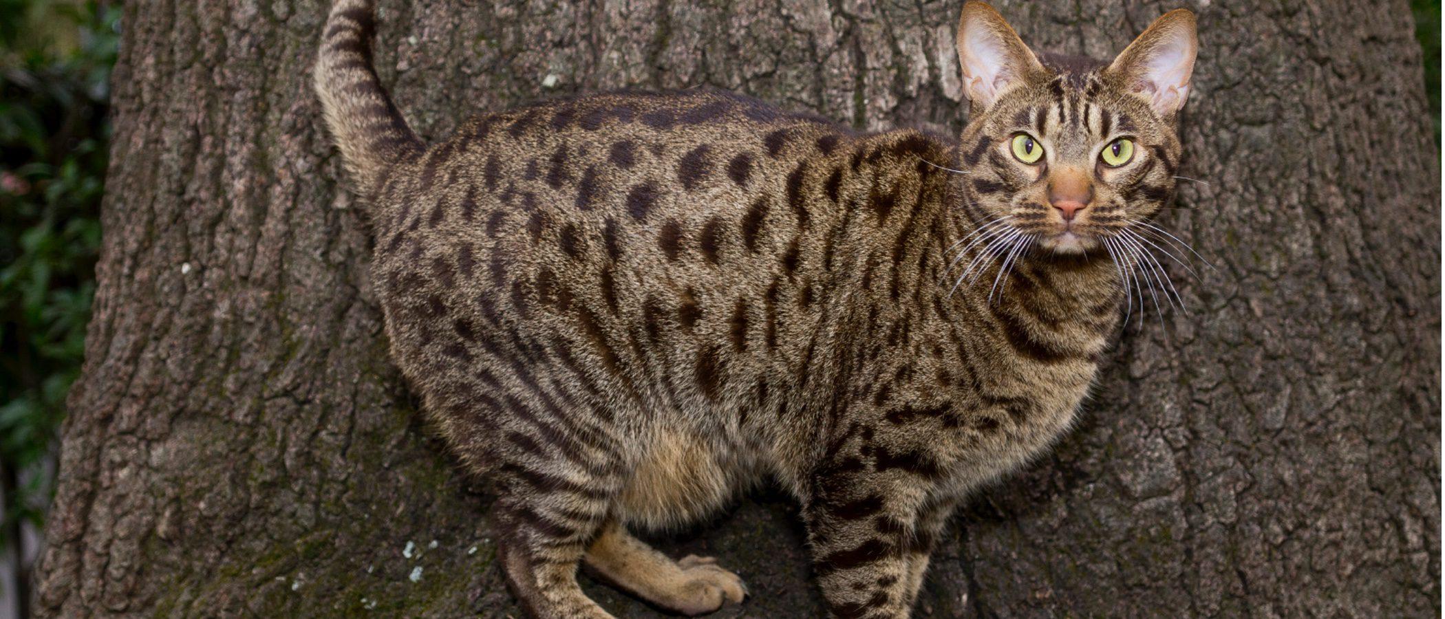 Gato Ocicat: todo sobre esta raza de felino