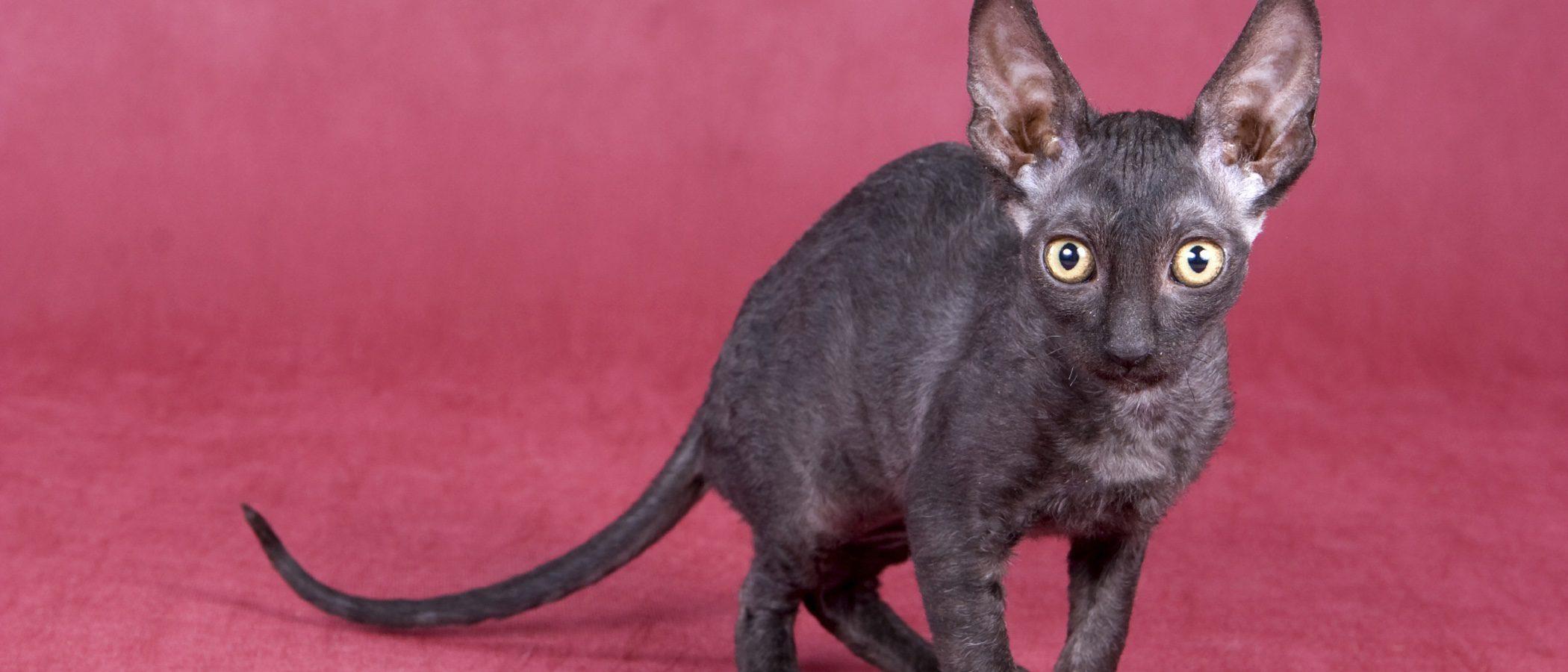 Cornish Rex: todo sobre esta raza de felino