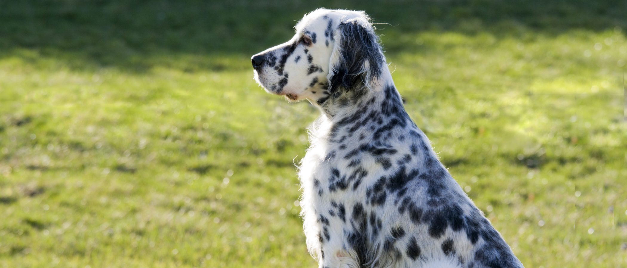 Razas de perros: Setter inglés