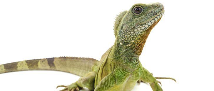 ¿Cuántos años vive una iguana?