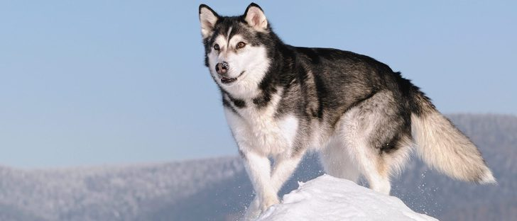 Alaskan Malamute: Razas de perros