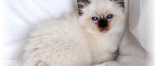 Gato balinés: todo sobre esta raza de felino