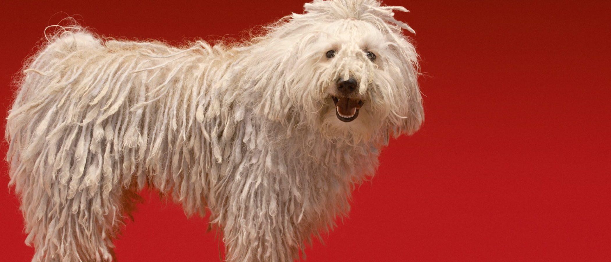 Komondor: Razas de perros