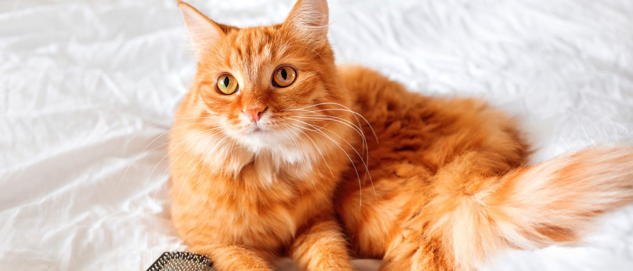 Cómo cuidar el pelo de tu gato