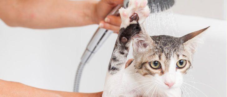 Mi gato está sucio, ¿cómo le doy un baño?