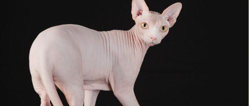 Sphynx o gato egipcio: todo sobre esta raza de felino
