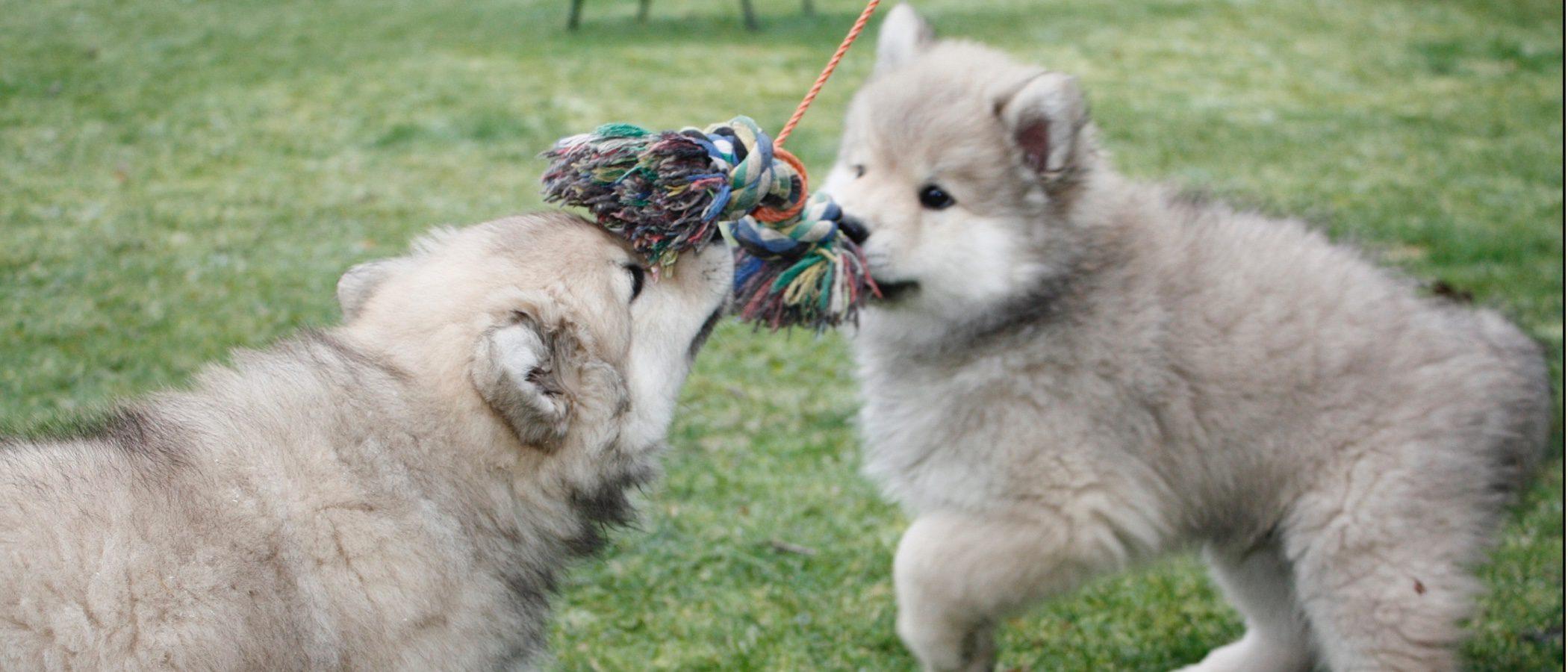 Razas de perros: Eurasier