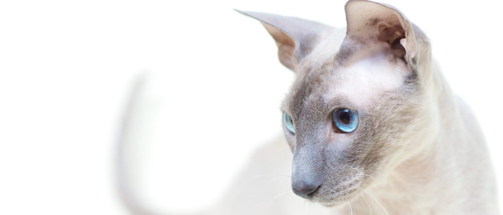 Peterbald: todo sobre esta raza de felino