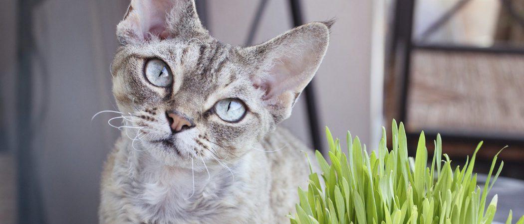 Devon Rex: Todo sobre esta raza de felino