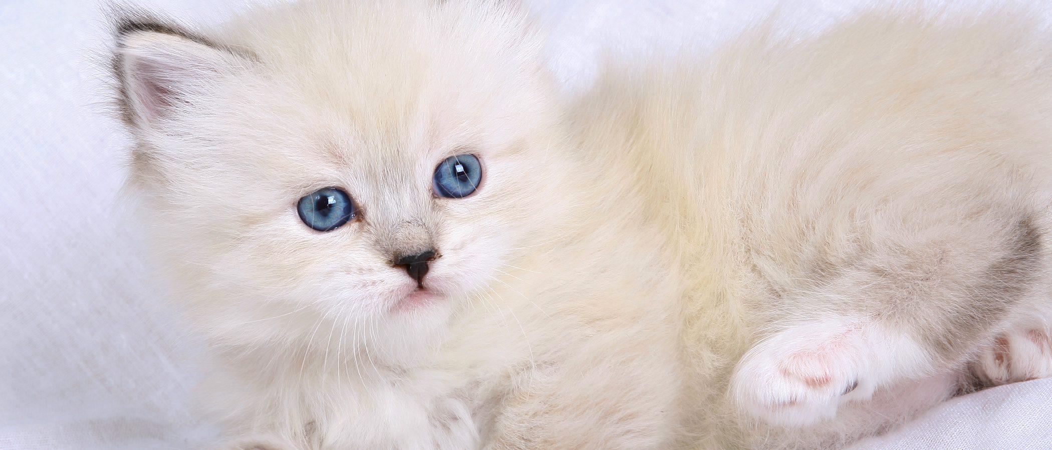 Neva Masquerade: Todo sobre esta raza de felino