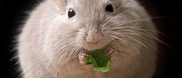Mi hámster está gordo: ¿Cómo puedo hacer que pierda peso?