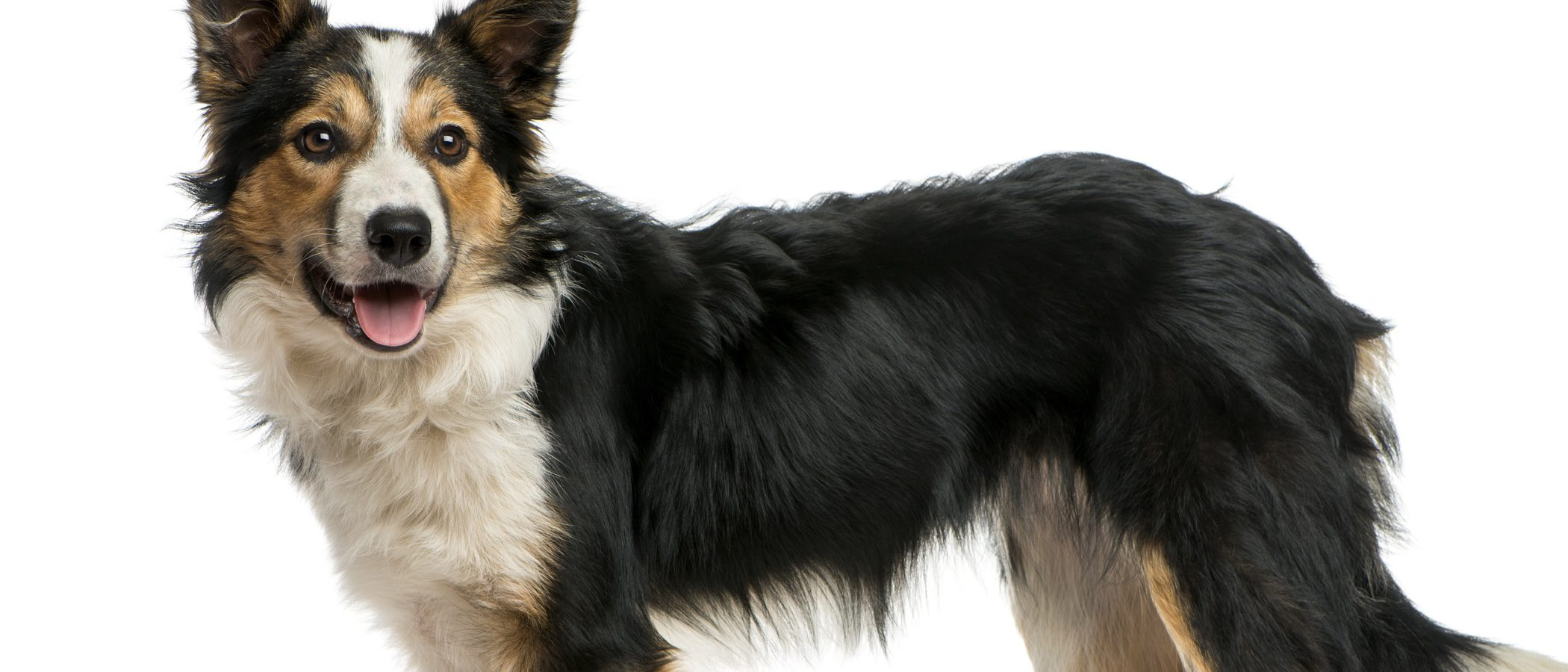 Razas de perros: Border Collie