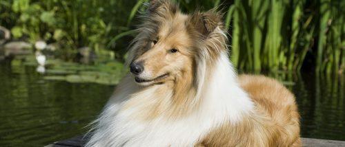 Lassie, la Collie más famosa del mundo con un pasado y tradición inglesa