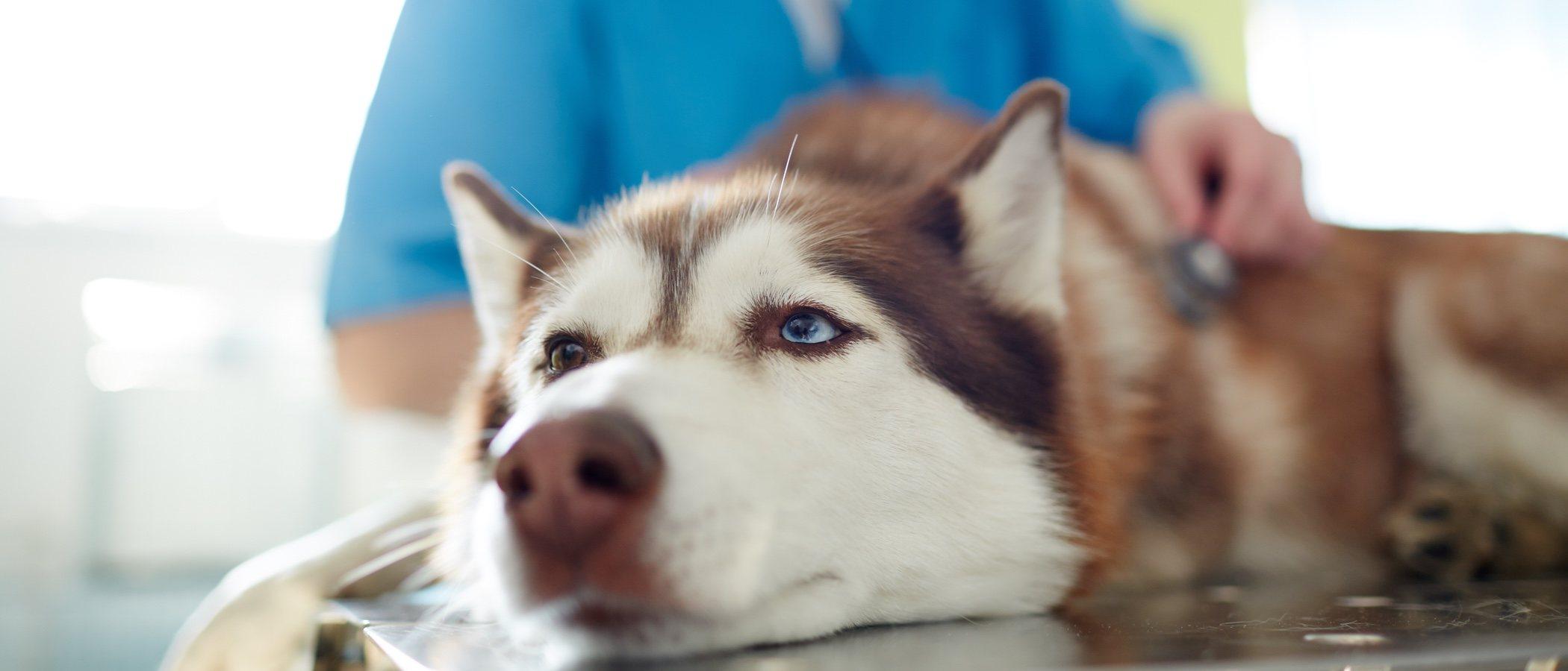 ¡Ten cuidado! Los perros también pueden sufrir resfriado