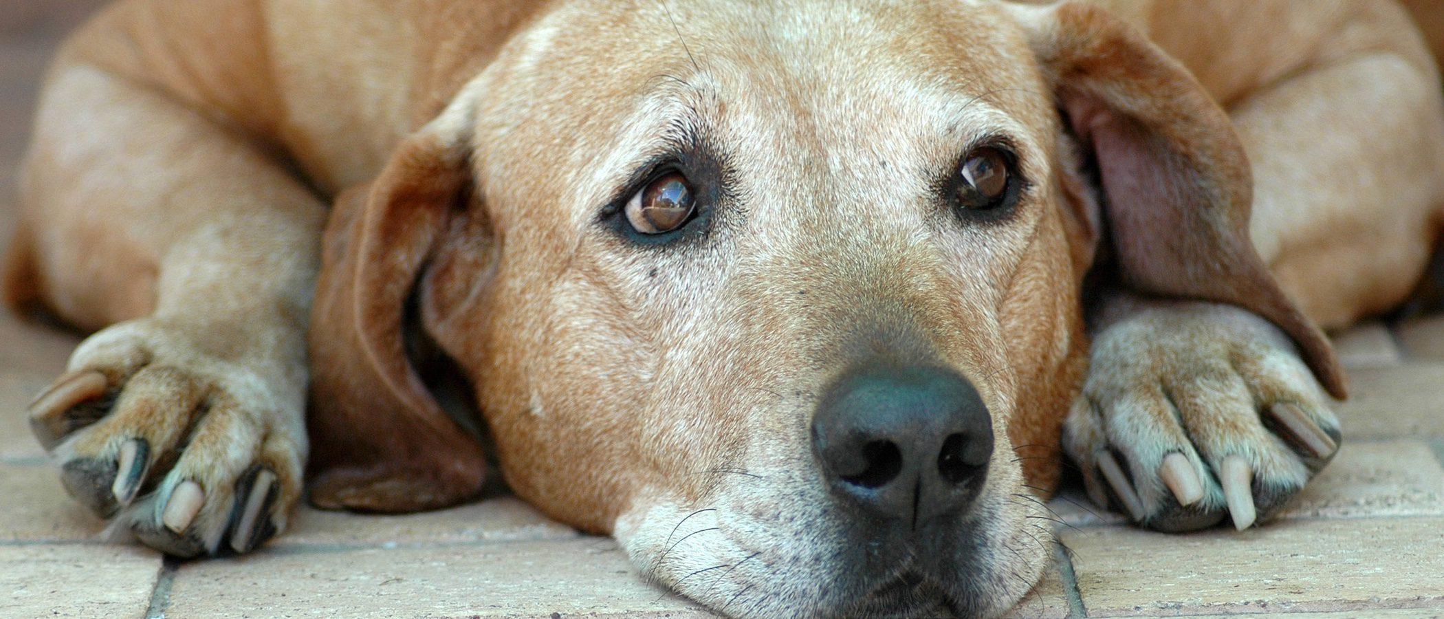 Artritis canina: Síntomas y tratamiento