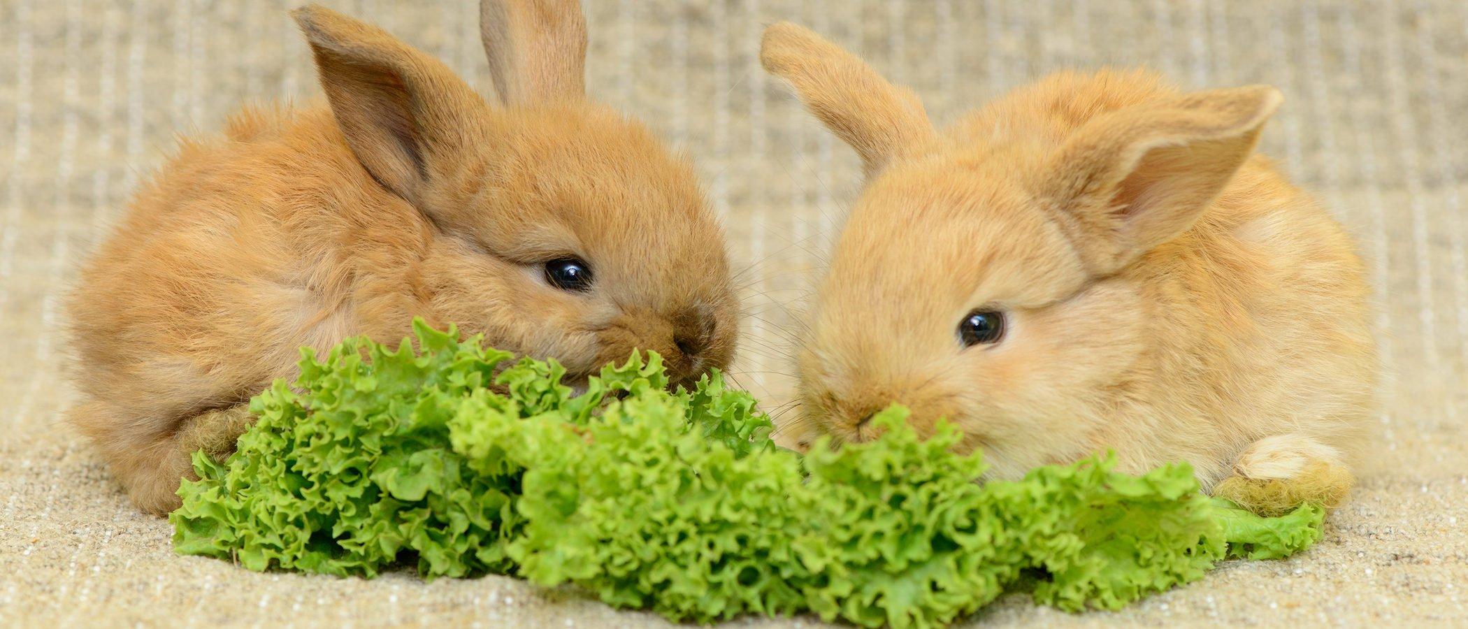 Cómo alimentar correctamente a un conejo