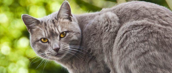 Chartreux o Gato Cartujo: Todo sobre esta raza de felino