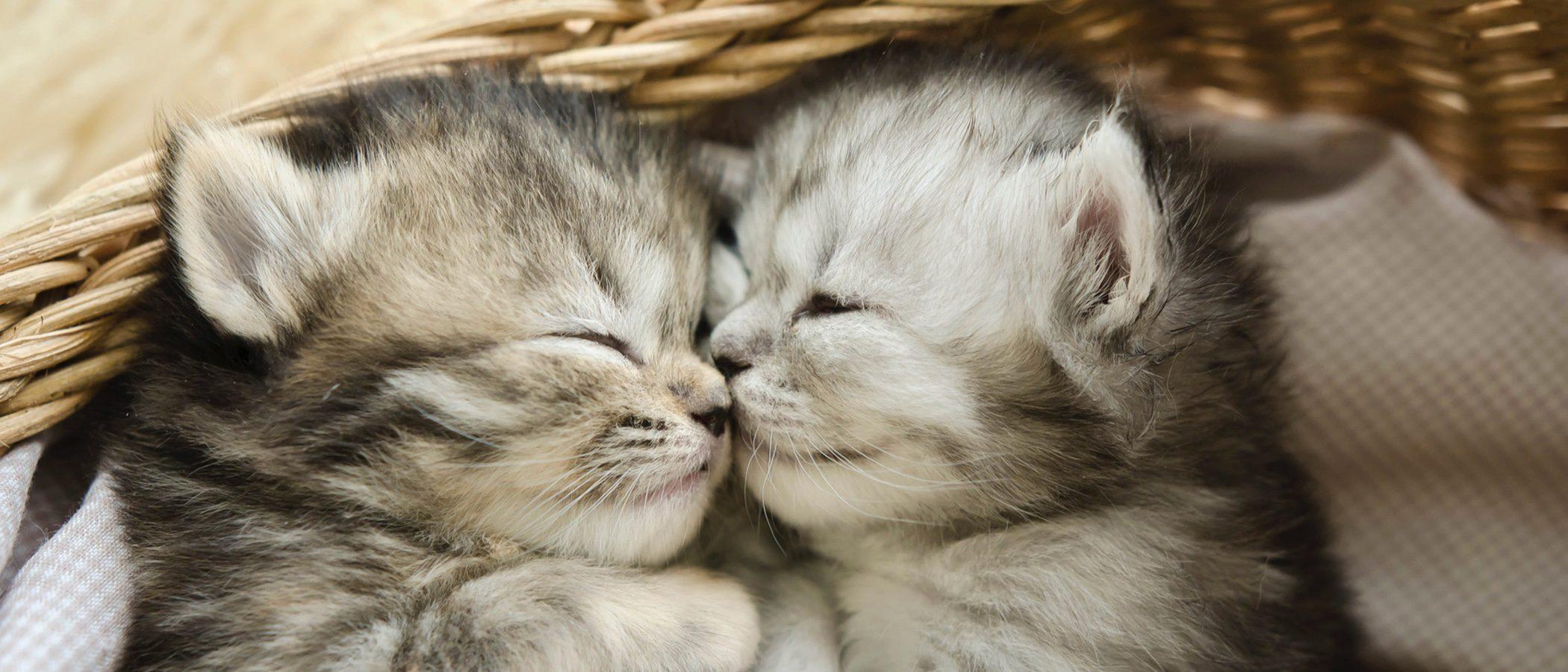 Consejos para cuidar a un gato recién nacido prematuro