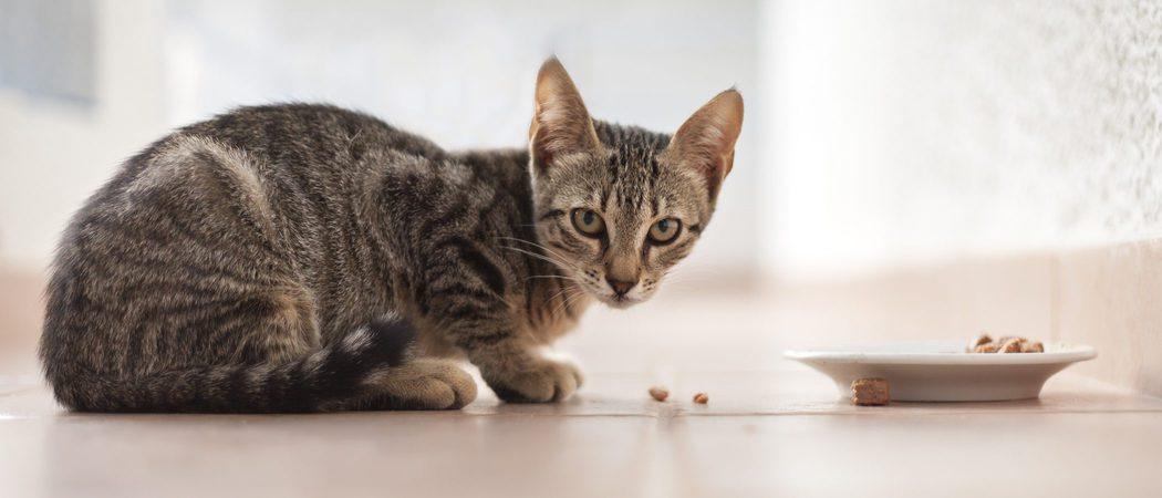 ¿Cuántas veces al día es aconsejable que coma un gato?