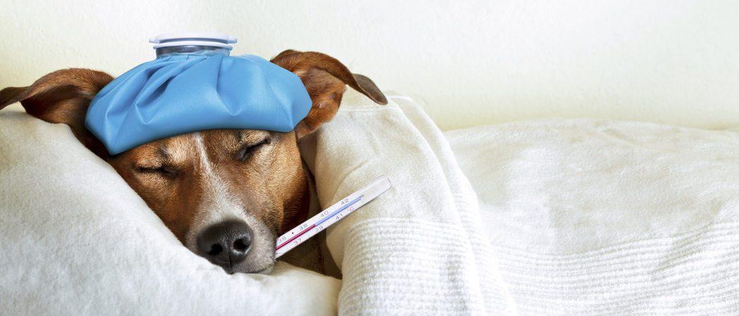¿Cómo puedo saber si mi perro tiene fiebre?