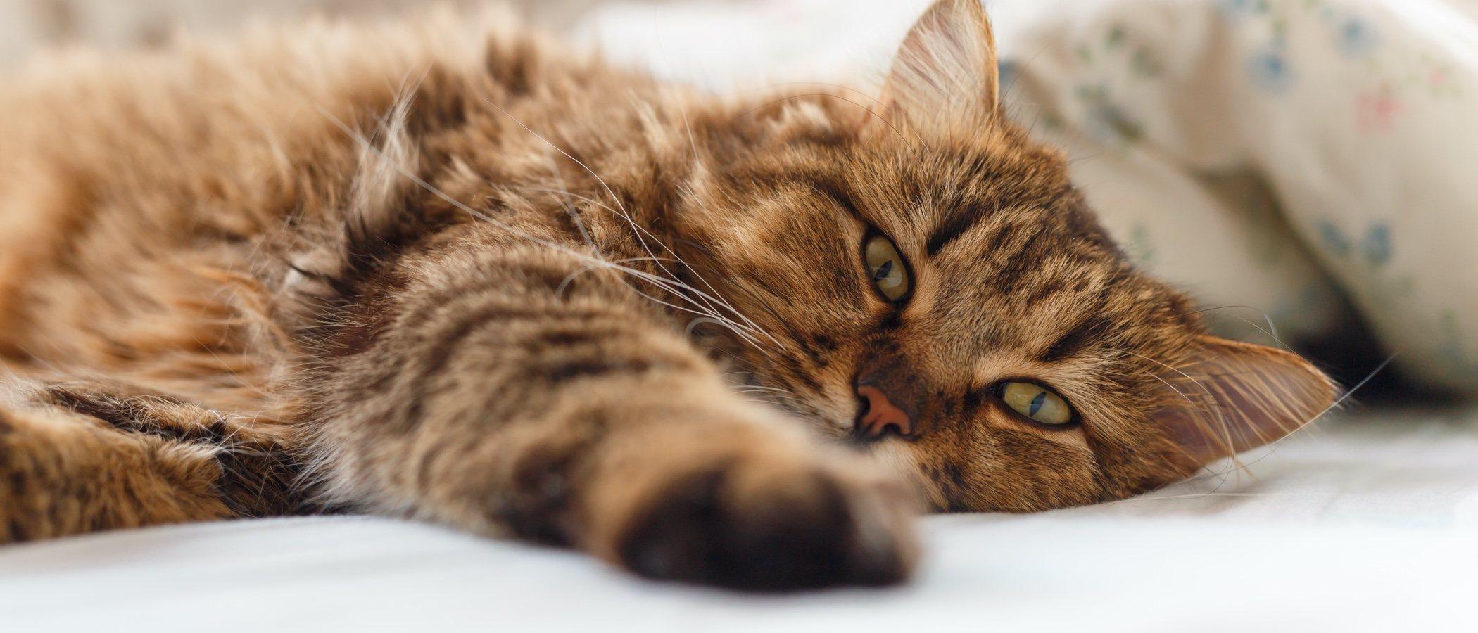 Cómo puedo combatir la diarrea de mi gato